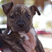 Adopt A Pet :: Bonnie - Summerville, SC