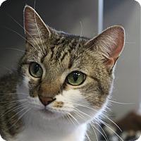 Adopt A Pet :: Saba - Sarasota, FL