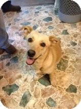 Corgi/Labrador Retriever Mix Dog for adoption in Russellville, Kentucky - Chloe