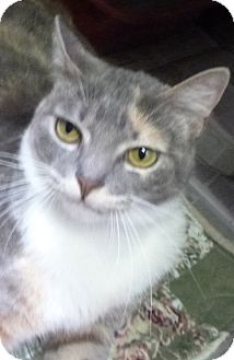 Calico Cat for adoption in St. Petersburg, Florida - Cali