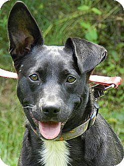 Labrador Retriever/Border Terrier Mix Puppy for adoption in Centerville, Tennessee - Socks