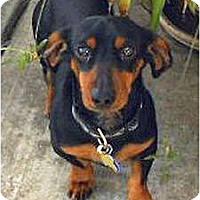 Adopt A Pet :: Bogie - San Jose, CA