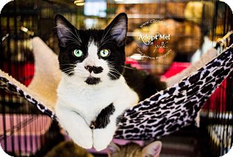 Domestic Mediumhair Kitten for adoption in Charlotte, North Carolina - A..  Hercules