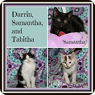 Domestic Shorthair Kitten for adoption in Marietta, Ohio - Darrin Samantha Tabitha (New)