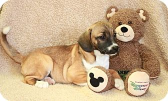 Pug/Beagle Mix Puppy for adoption in Greenwich, Connecticut - Oprah