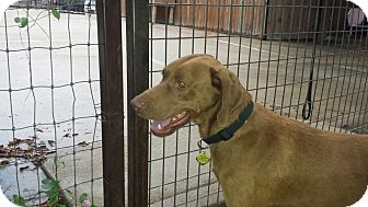 Vizsla/Retriever (Unknown Type) Mix Dog for adoption in FORT WORTH, Texas - TONY