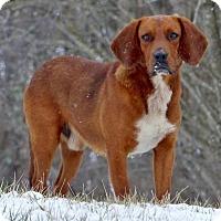Adopt A Pet :: Jack Flash - Westminster, MD
