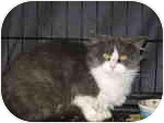 Domestic Mediumhair Cat for adoption in Fullerton, California - Suzette