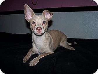 Chihuahua/Dachshund Mix Dog for adoption in Colton, California - Billy