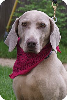 Weimaraner Dog for adoption in Hutchinson, Kansas - Abby