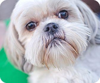 Shih Tzu Mix Dog for adoption in Westport, Connecticut - *Suzy - PENDING