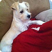 Adopt A Pet :: Prissy - Houston, TX