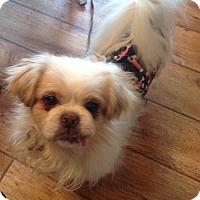 Adopt A Pet :: Suni - Lincolnwood, IL