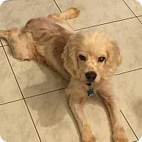 Adopt A Pet :: Beau Cocker - Holmes Beach, FL