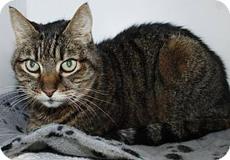 Domestic Shorthair Cat for adoption in Grass Valley, California - Muffin