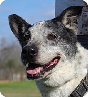 Pointer/Spaniel (Unknown Type) Mix Dog for adoption in Von Ormy, Texas - Spotty