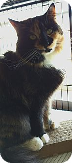 Maine Coon Cat for adoption in Randolph, New Jersey - Sylvia