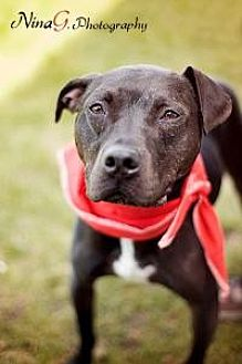 Labrador Retriever/American Pit Bull Terrier Mix Dog for adoption in Crown Point, Indiana - Britches