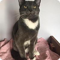 Adopt A Pet :: Ash - Rochester Hills, MI
