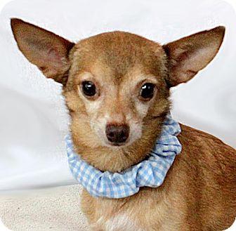 Chihuahua Dog for adoption in Dallas, Texas - Colin