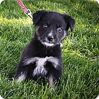Adopt A Pet :: Kolbie - Broomfield, CO