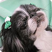Adopt A Pet :: Talullah - Aurora, CO