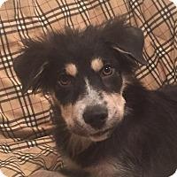 Adopt A Pet :: Liam - Minneapolis, MN