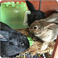 Adopt A Pet :: Sage - Lompoc, CA