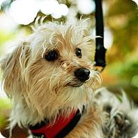 Adopt A Pet :: Bobby - New York, NY