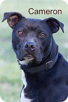 Labrador Retriever/Pit Bull Terrier Mix Dog for adoption in Broken Arrow, Oklahoma - Cameron