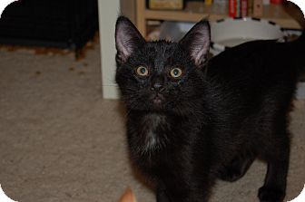 Domestic Shorthair Kitten for adoption in Burlington, Ontario - Shelton