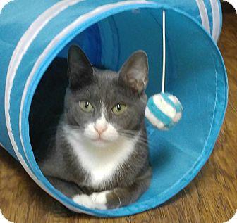 Domestic Shorthair Cat for adoption in Amherst, Massachusetts - Silver Belle