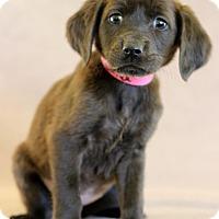 Adopt A Pet :: Calla - Waldorf, MD