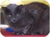 Domestic Mediumhair Cat for adoption in El Cajon, California - Aslan