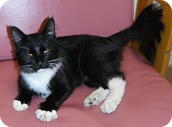 Domestic Longhair Cat for adoption in Jackson, Michigan - Thumper