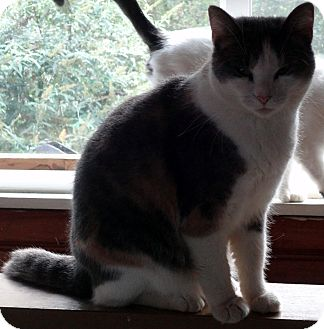 Calico Cat for adoption in Saint Albans, West Virginia - Sheila