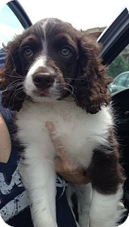 Poodle (Miniature) Mix Puppy for adoption in Richmond, Virginia - Romeo