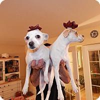 Adopt A Pet :: Skyye - Gilbert, AZ