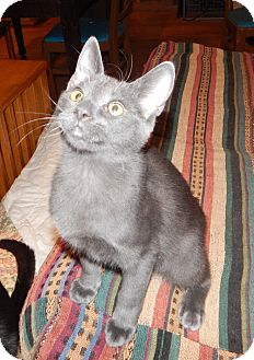 Russian Blue Kitten for adoption in Plano, Texas - KAHUNA - SWEETEST LAP KITTY!