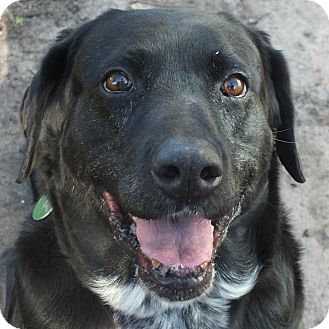 Labrador Retriever Mix Dog for adoption in Minneapolis, Minnesota - Star