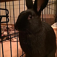 Harlequin for adoption in Erie, Pennsylvania - Buffalo- Oynx