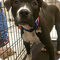 Adopt A Pet :: Luke-in CT - Manchester, CT
