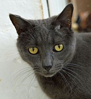 Russian Blue Cat for adoption in Middletown, New York - Isis