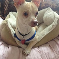 Chihuahua Mix Dog for adoption in Tomball, Texas - Happy