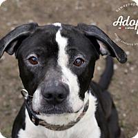 Spaniel (Unknown Type) Mix Dog for adoption in Lyons, New York - Bradley