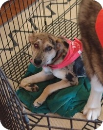 Australian Shepherd/Catahoula Leopard Dog Mix Dog for adoption in Wilmington, Massachusetts - Bit-O-Honey