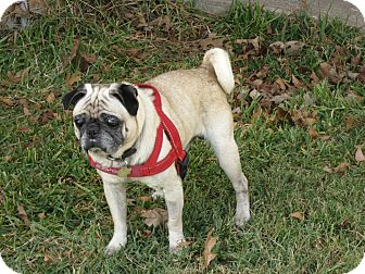 Pug Dog for adoption in Austin, Texas - Herman