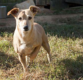 Rat Terrier Mix Dog for adoption in Tanner, Alabama - Suzette