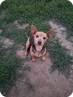 Chihuahua/Dachshund Mix Dog for adoption in New Windsor, New York - TRIXIE