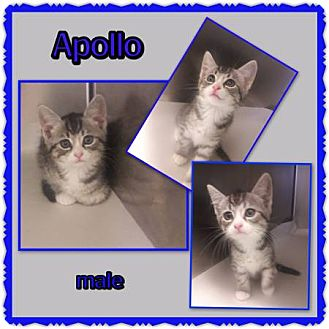 Domestic Shorthair Kitten for adoption in Richmond, California - Apollo